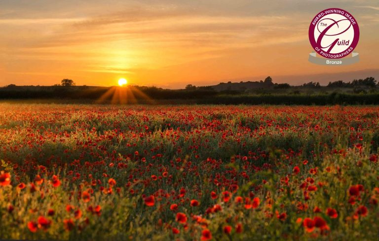 Beautiful poppies in the summer
